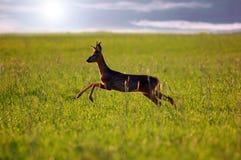 животные козули оленей предпосылки Стоковое Фото