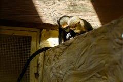 Животные обезьяны пар Стоковые Изображения RF