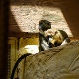 Животные обезьяны пар Стоковое Изображение