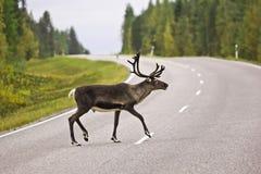 животные олени скрещивания натягивают вожии дорога Швеция Стоковая Фотография RF
