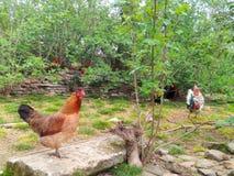 Животные, петухи и курицы двора Стоковое фото RF