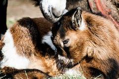 Коза в природе стоковые изображения