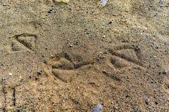 Животные следы в песке можжевельника приставают захолустный парк к берегу Стоковое Фото