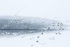 Животные следы на льде Стоковая Фотография RF