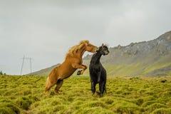 Животные товарища - лошади Стоковая Фотография