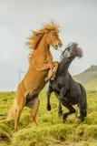 Животные товарища - лошади Стоковые Фото