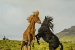 Животные товарища - лошади Стоковые Фотографии RF