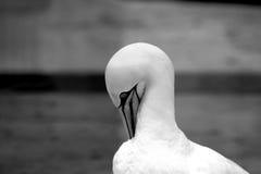 Животные Basstölpel чернят, изолированная белизной предпосылка летящей птицы обоев изумительная Стоковое Изображение