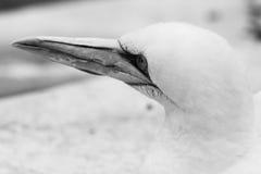 Животные Basstölpel чернят, изолированная белизной предпосылка летящей птицы обоев изумительная Стоковые Изображения RF