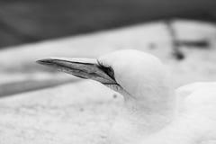 Животные Basstölpel чернят, изолированная белизной предпосылка летящей птицы обоев изумительная Стоковое Изображение RF