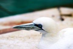 Животные Basstölpel чернят, предпосылка белой летящей птицы обоев изумительная Стоковые Изображения