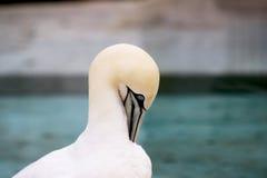 Животные Basstölpel чернят, предпосылка белой летящей птицы обоев изумительная Стоковая Фотография RF