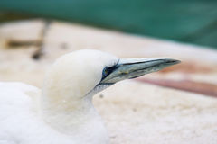Животные Basstölpel чернят, предпосылка белой летящей птицы обоев изумительная Стоковое Фото