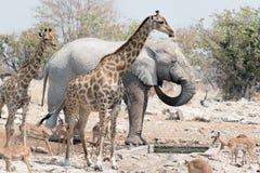 Животные Etosha стоковое изображение rf