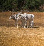 Животный аддакс антилопы Стоковые Изображения RF