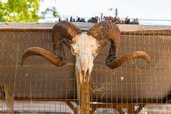 Животный белый череп с рожками минирования штосселя на предпосылке Стоковая Фотография RF