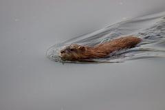 животный бобр красит заплывание принципиальной схемы мягкое Стоковые Фото