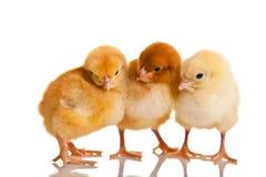 животный изолированный цыпленок немногой Стоковое фото RF