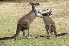 животный кенгуру Стоковое фото RF
