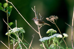 Животный маленький воробей на ветви Стоковые Фотографии RF