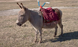 Животный дом Цены burro детенышей на glade Стоковое фото RF