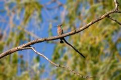 Животный одичалый удод на ветви Стоковое Фото