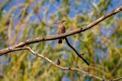 Животный одичалый удод на ветви Стоковая Фотография
