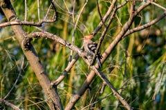 Животный одичалый удод на ветви Стоковое Изображение