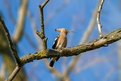 Животный одичалый удод на ветви Стоковое фото RF