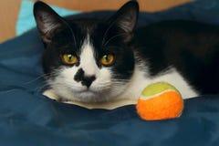 Животный портрет играть кота шарика Кот Стоковые Фотографии RF