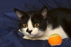 Животный портрет играть кота шарика Кот Стоковые Изображения