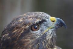 Животный портрет коричневого хоука Стоковое Фото