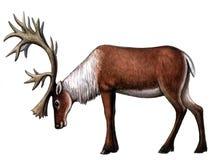 животный северный олень Стоковая Фотография