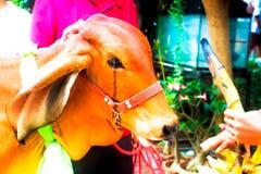 Животный символ вероисповедания красных молодых коров Стоковые Изображения