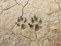 животный след ноги Стоковое Фото