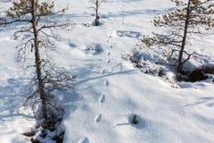 Животный след на покрытом снег болоте Стоковое Фото