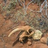 Животный череп в пустыне Стоковое фото RF