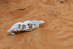 Животный череп в струясь песчанных дюнах стоковая фотография