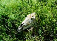 Животный череп на зеленой траве Стоковое Изображение