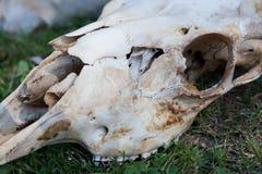 Животный череп на траве Стоковая Фотография