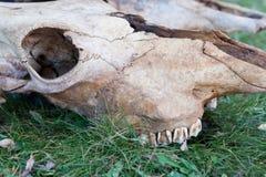 Животный череп на траве Стоковые Изображения