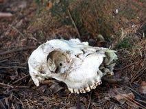 животный череп Стоковые Фотографии RF