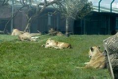 животный львев свободы плена одичалый Стоковое Фото