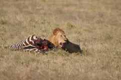 животный львев смотря prey одичалый Стоковые Изображения