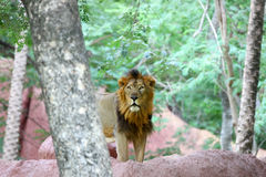 животный львев смотря prey одичалый Стоковое Фото