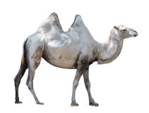 Животный Bactrian верблюд Стоковое Фото