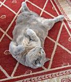 Живот вверх по шаловливому коту стоковые фотографии rf