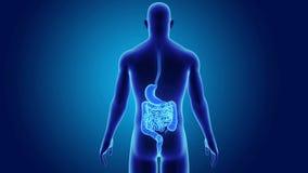 Живот и кишечник с телом иллюстрация вектора