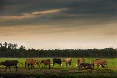 Живот коровы Стоковая Фотография