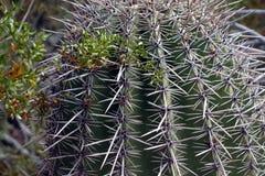 Живущая пустыня юго-западных США Стоковое фото RF